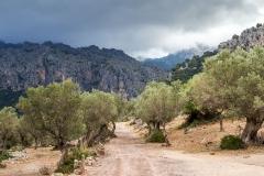 Olive trees, Mallorca