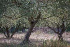 Olive trees, Gard, France
