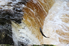 Leaping salmon at Stainforth Force