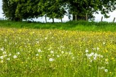 Wild flower meadow, Acorn Bank