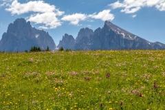 Wild flower meadows, Alpe de Siusi, Dolomites