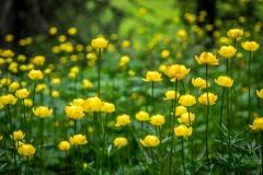 Swiss Alps wild flowers