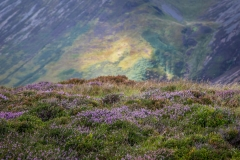 Heather on Ard Crags