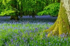 Bluebells, Flakebridge Wood