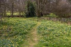 Wild daffodils, Farndale