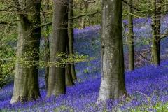 Flakebridge Wood bluebells