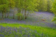 Flakebridge Wood, bluebells