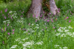 Cow parsley at Holker Hall