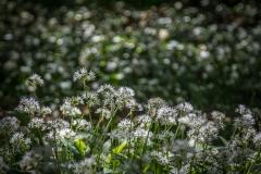 Wild garlic at Hutton-in-the-Forest