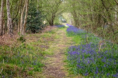 Bluebells, North Cliffe Wood, East Yorkshire