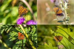 Butterflies of the Chablais Alps