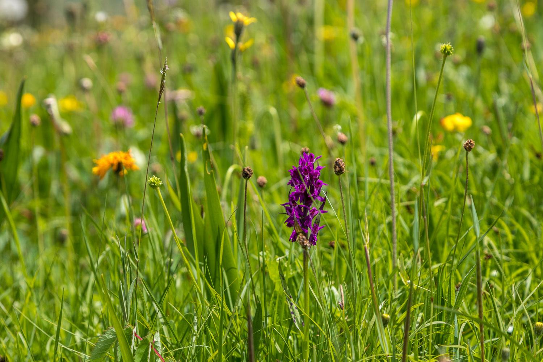 swiss wild lower meadow