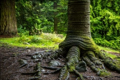 Aira Force walk, monkey puzzle tree