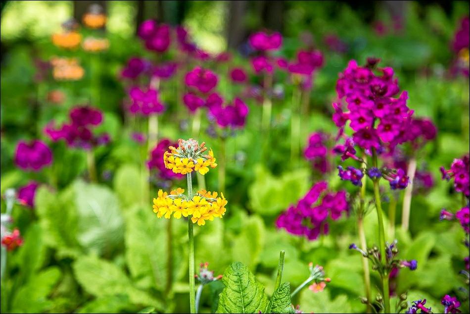 Drumstick Primula , Alnwick Garden
