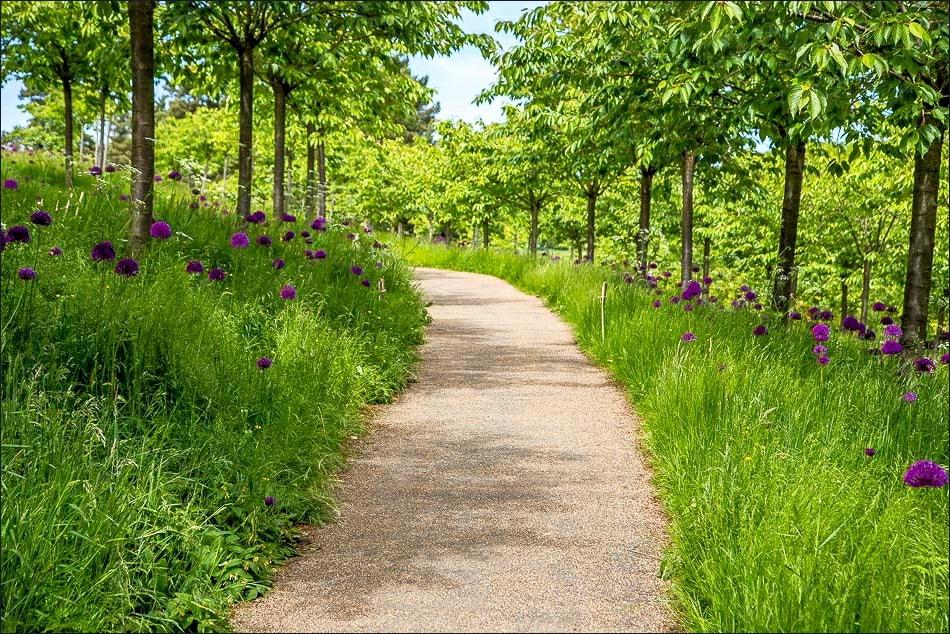 Cherry Orchard, Alnwick Garden, Allium