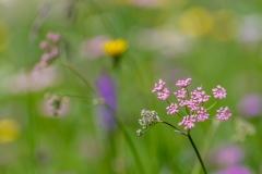 Alpe de Siusi wild flowers
