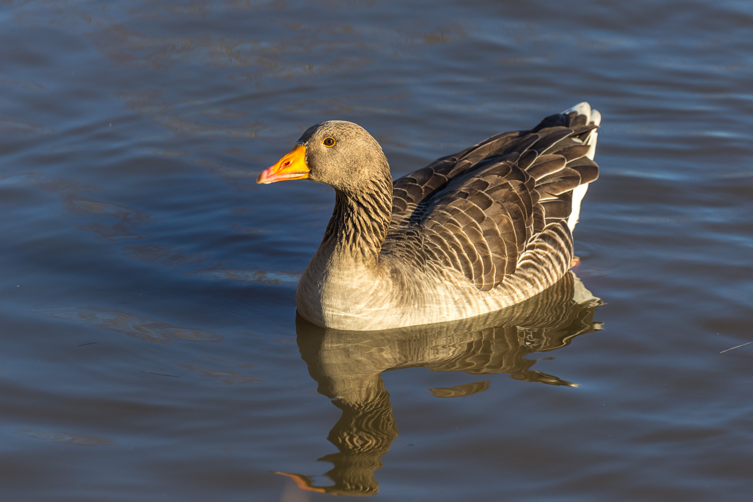 Waters Edge Country Park, greylag goose