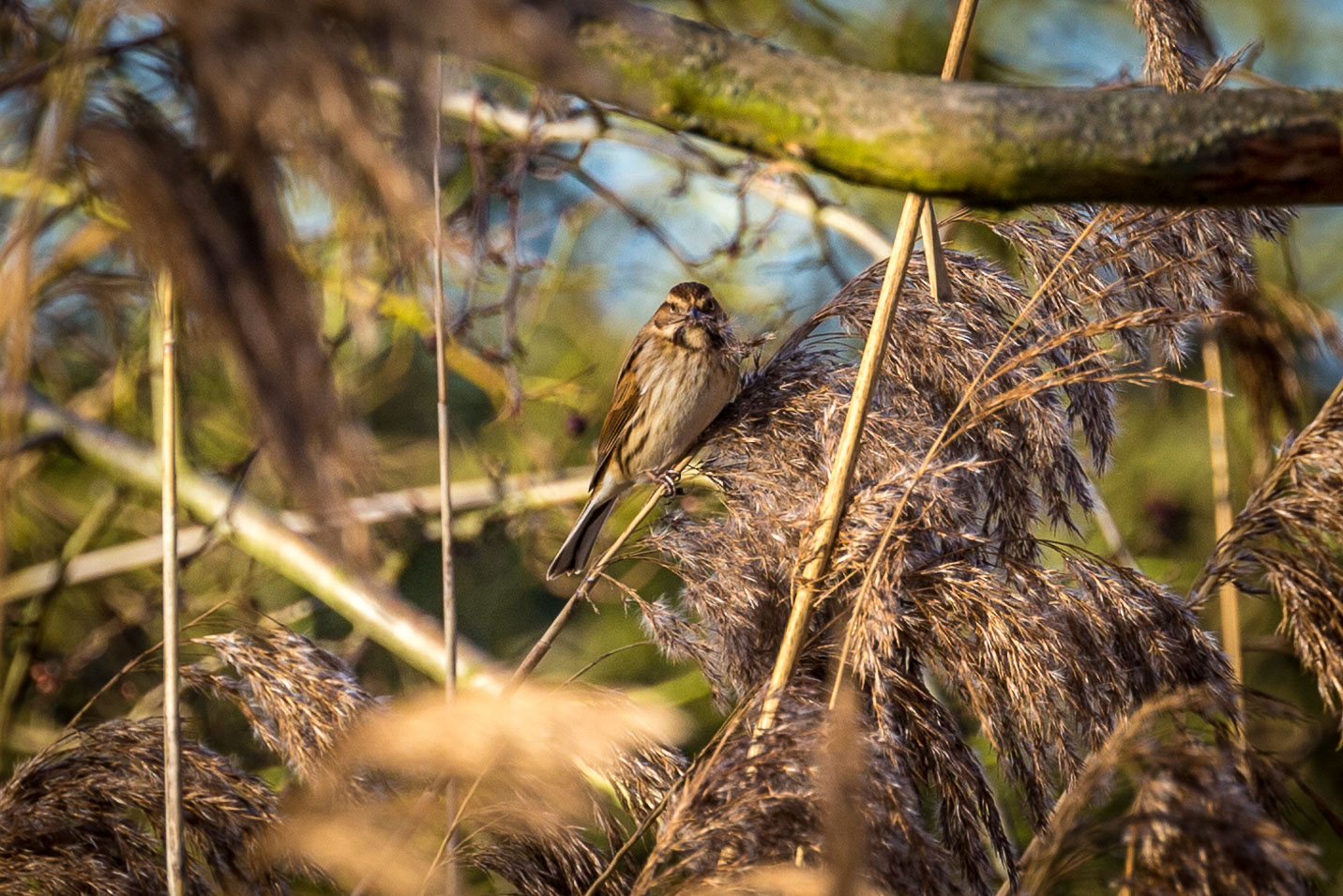 Waters Edge Country Park, reed bunting