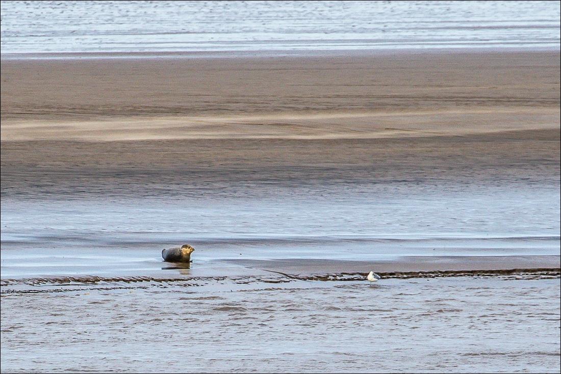 Seal, Humber