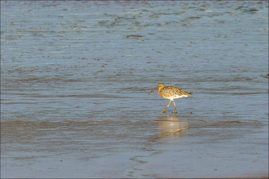 Curlew, Humber
