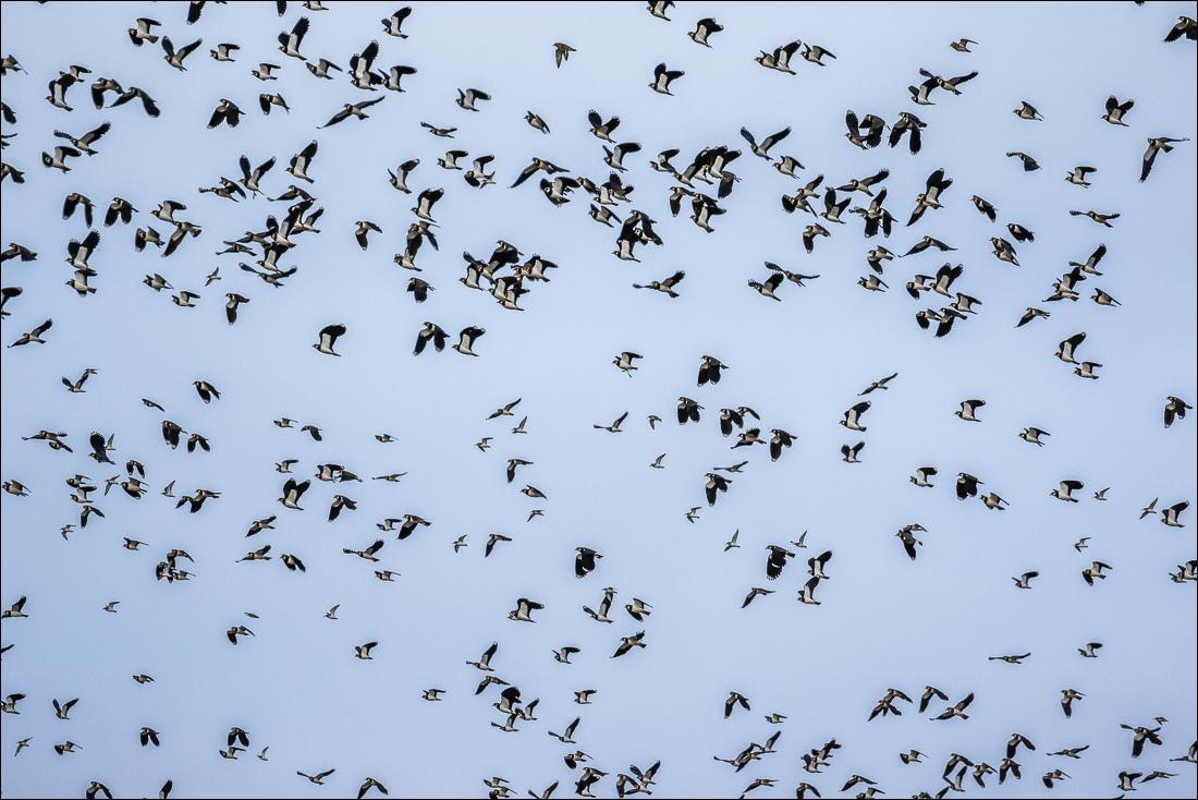 Lapwings, Humber