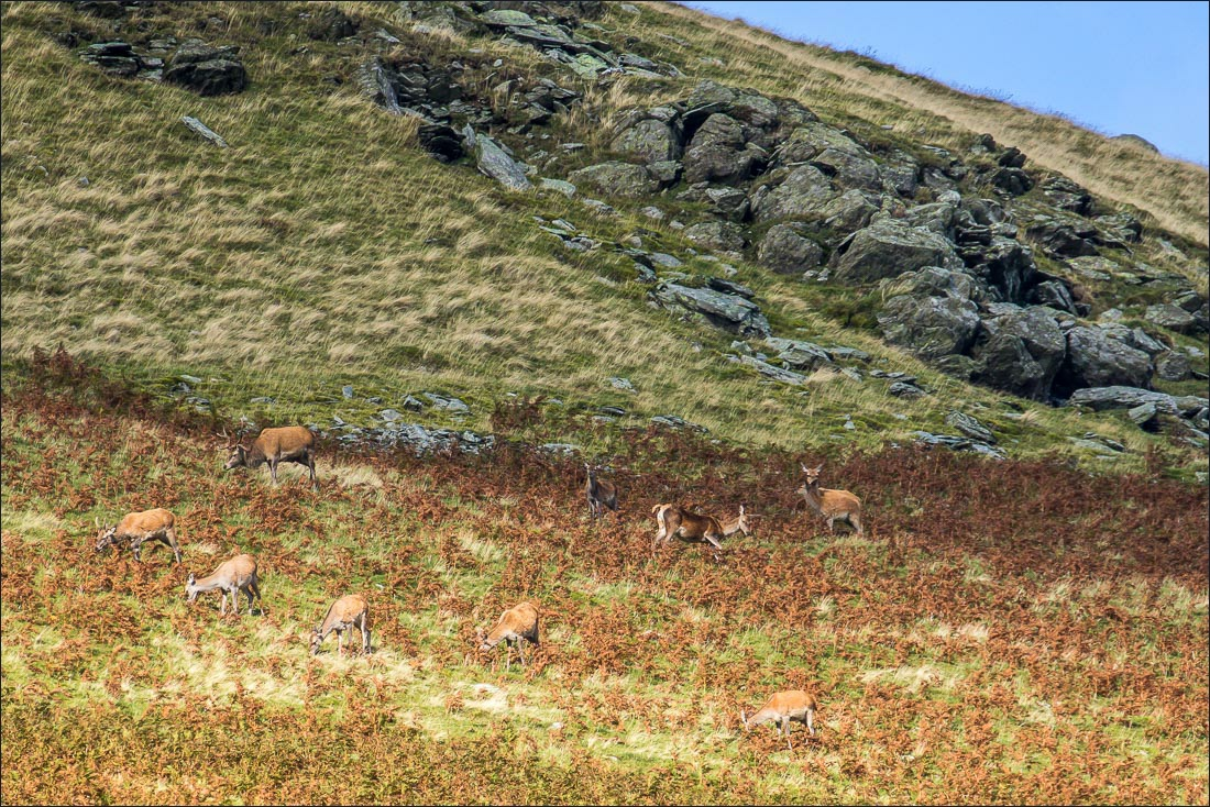 Beda Fell red deer