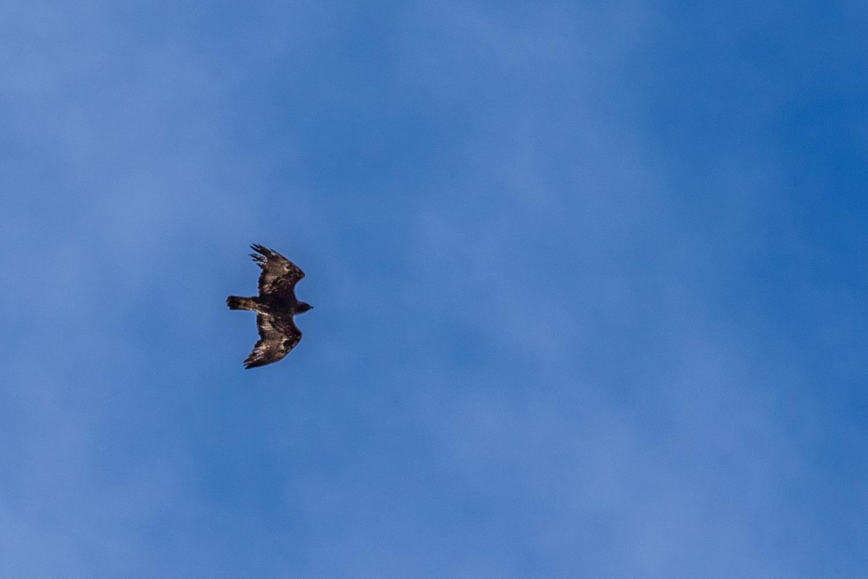 Golden eagle Harris