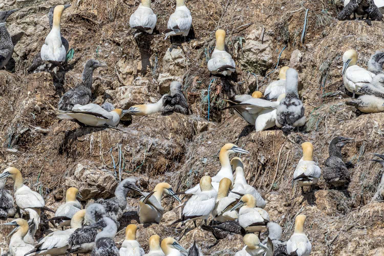 Yorkshire Belle,Scale Nab, gannet