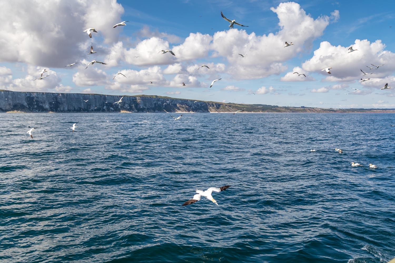 Yorkshire Belle, Bempton Cliffs, gannet