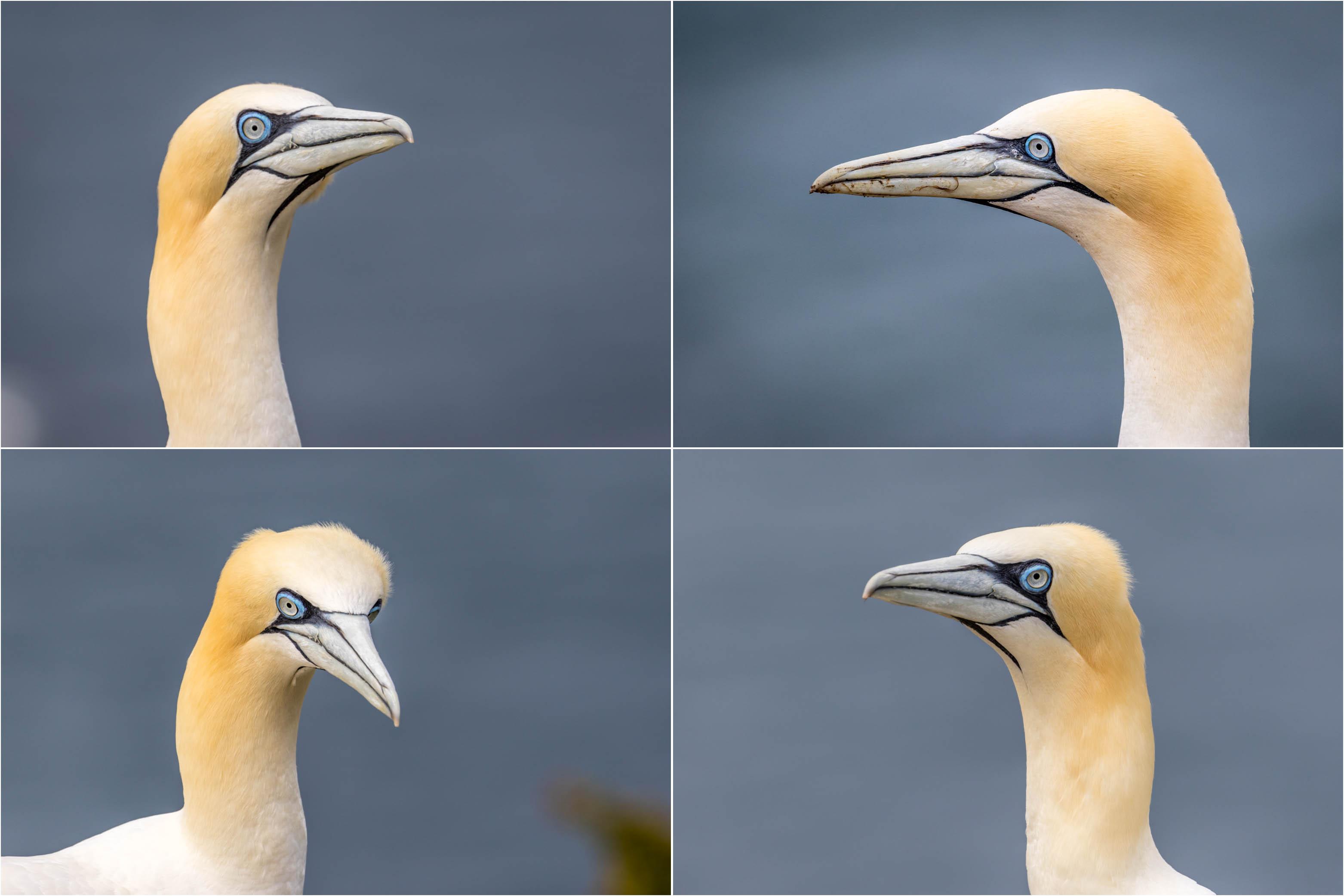 Bempton Cliffs, gannets