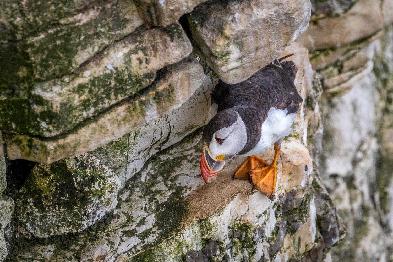 Bempton Cliffs, puffin