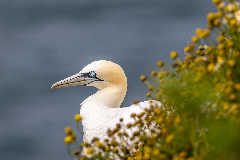 Bempton Cliffs, gannet