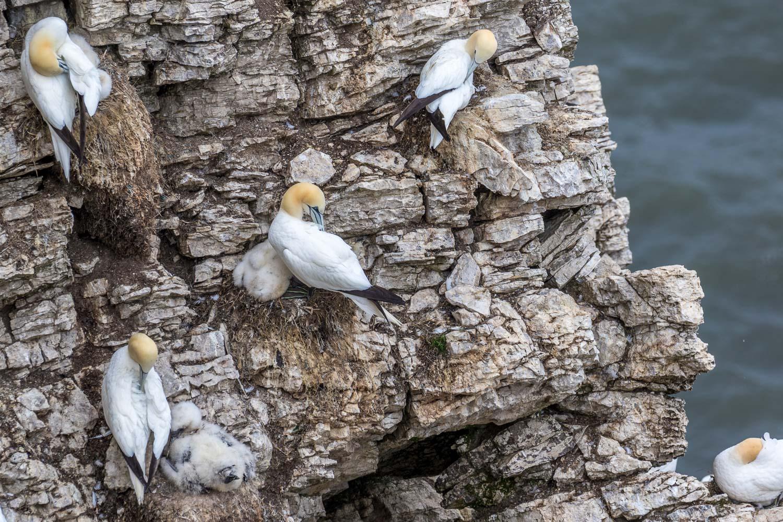 Gannet chicks