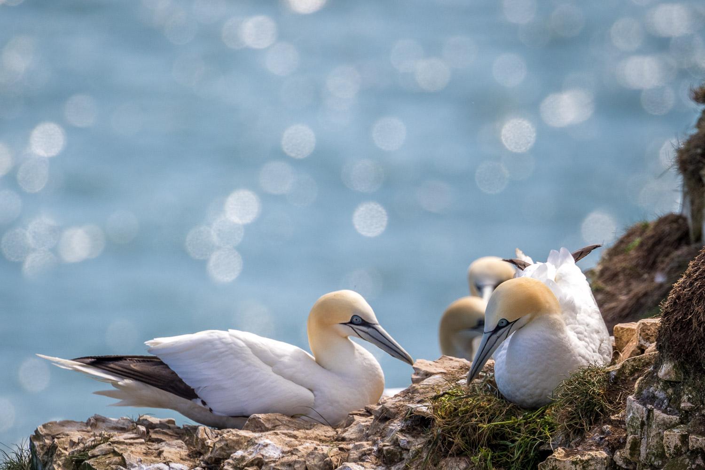 Bempton Cliffs gannets