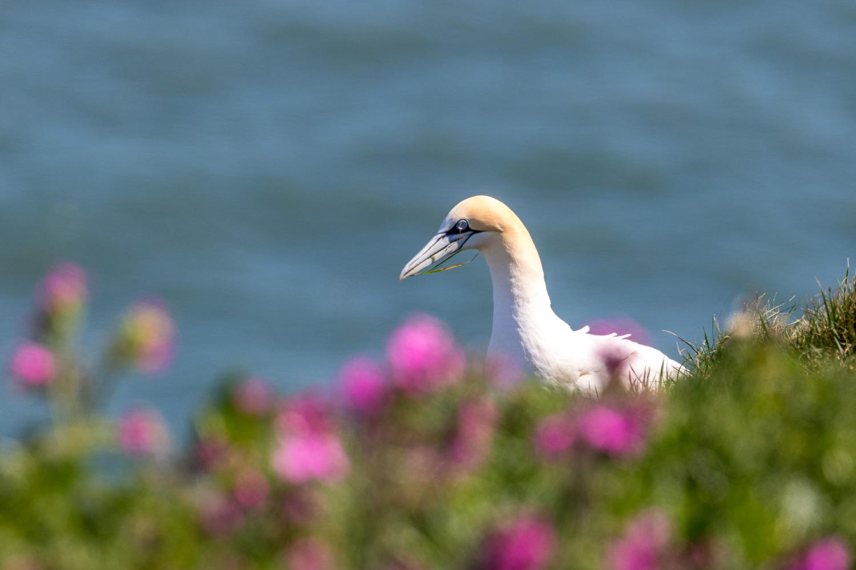 Bempton Cliffs walk gannet