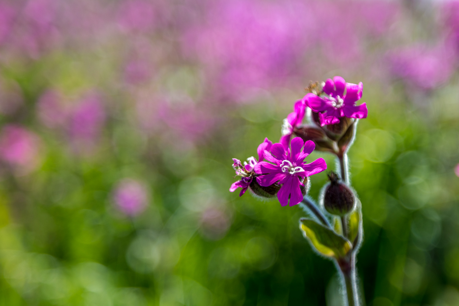 red campion5
