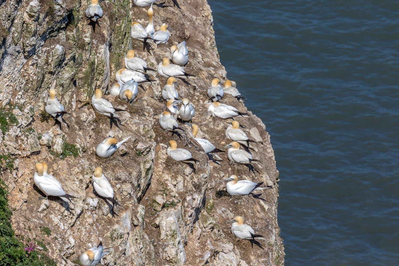 Gannets Bempton