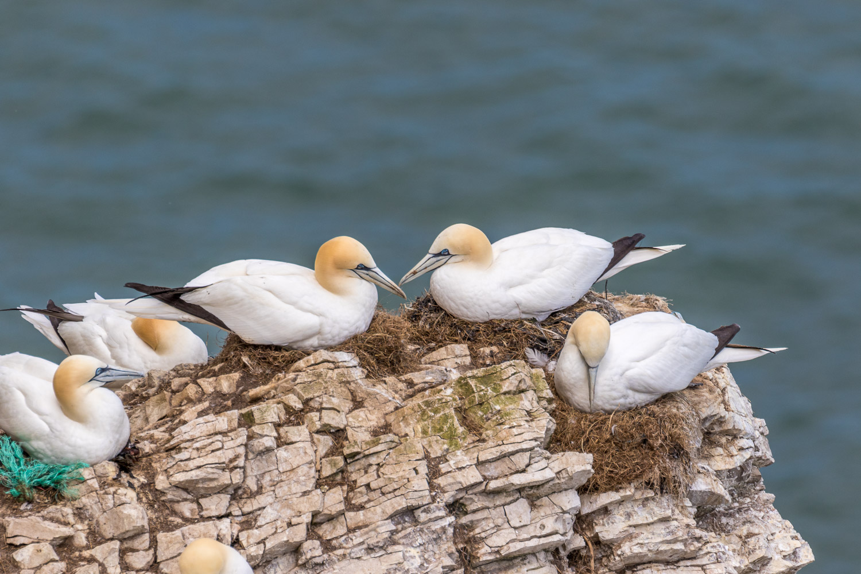 Gannets Bempton Cliffs
