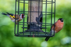 goldfinch, and a male bullfinch
