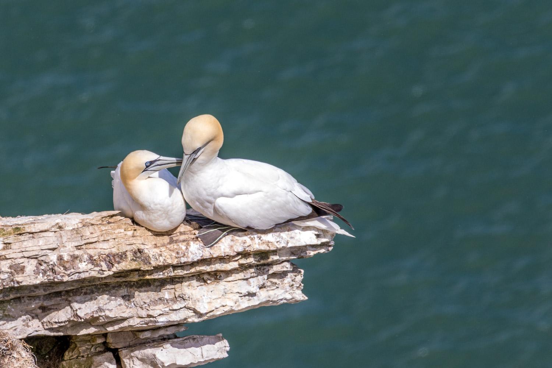 Bempton Cliffs  gannet