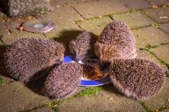 Hedgehogs, array of hedgehogs, prickle of hedgehogs