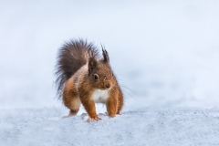 Red squirrel  snow