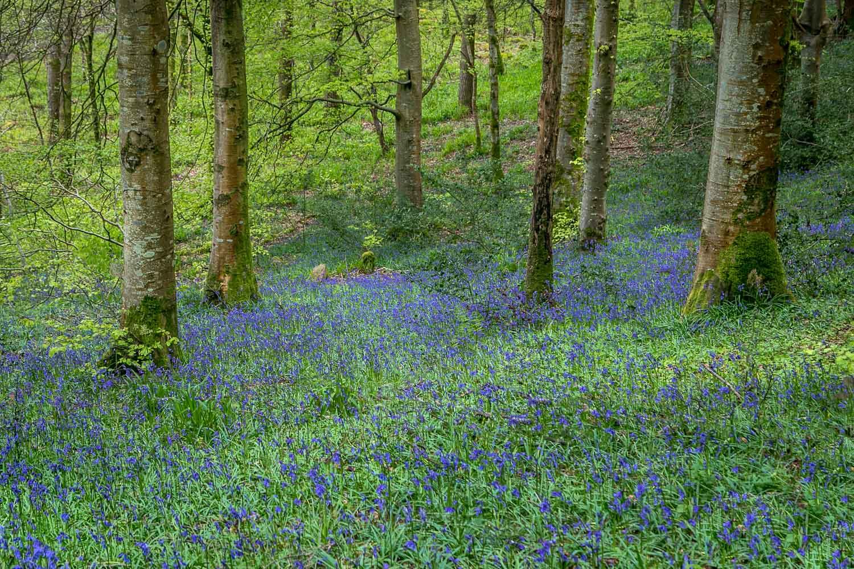 Lanthwaite Wood, bluebells