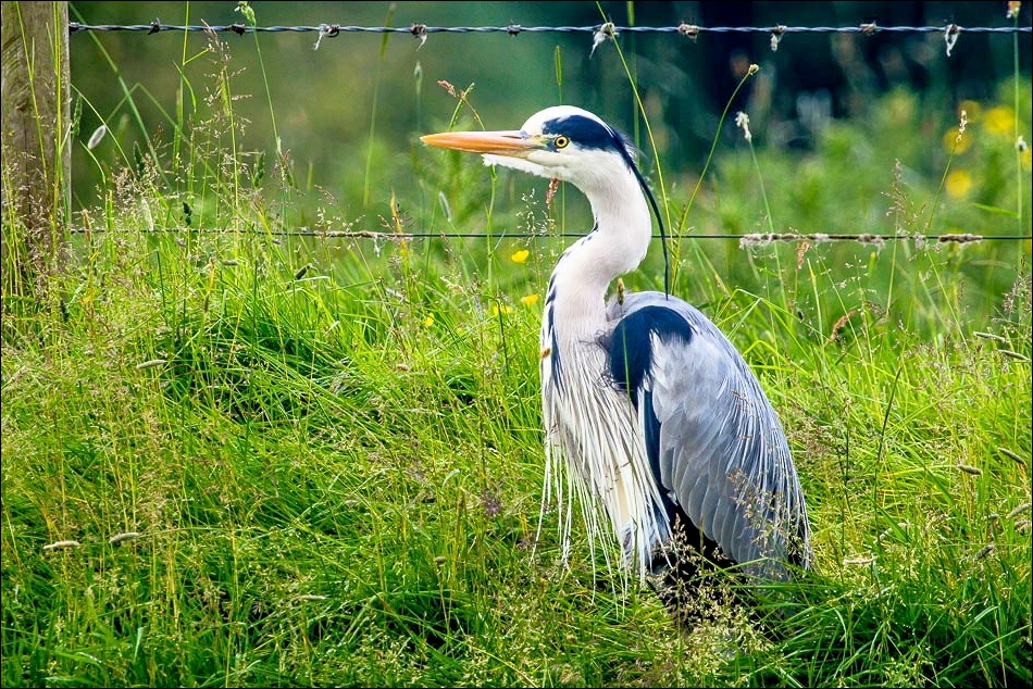 Heron, River Eamont