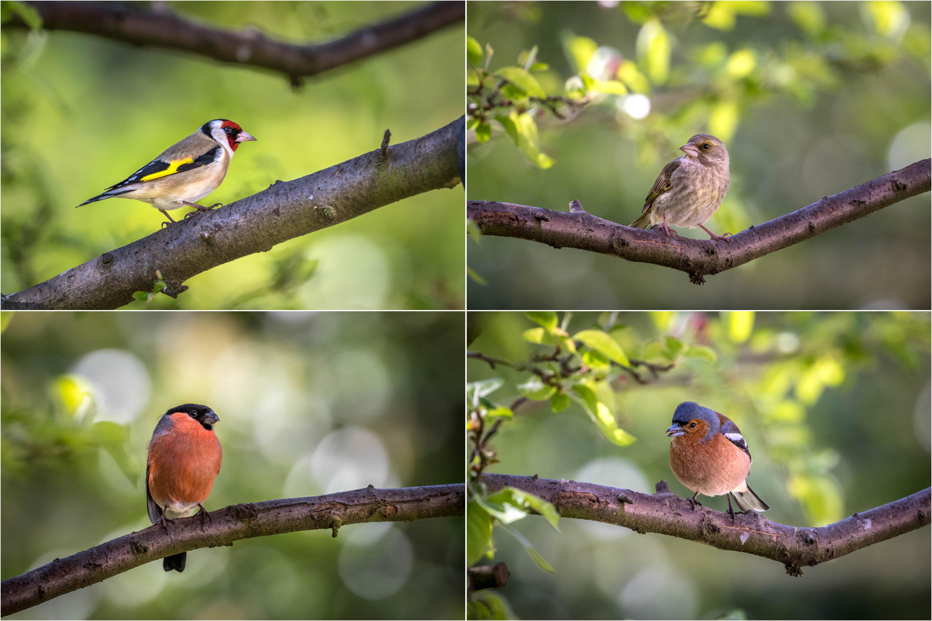 Goldfinch, greenfinch, bullfinch and chaffinch