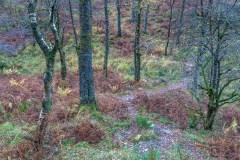 Borrowdale birch