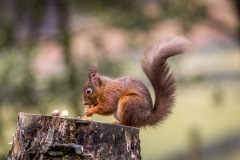 Red squirrel Lake District