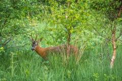 Buttermere roe deer
