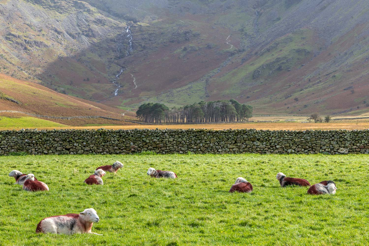 Herdwick sheep, Buttermere