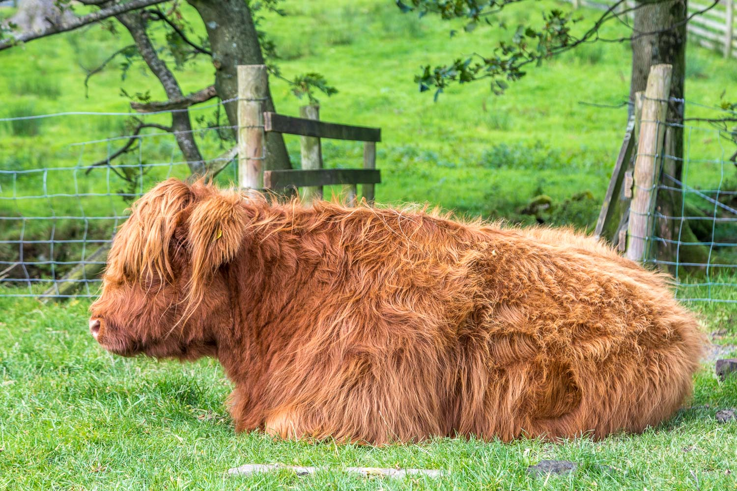 Highland cattle at Gatesgarth Farm